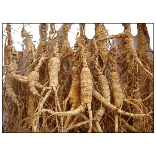 30years WILD FRESH LIVE GINSENG VERY NICE LARGE ROOTS
