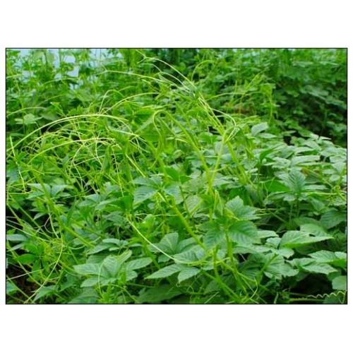 organic gynostemma pentaphyll um herbal health tea pearl jiaogulan herb tea. Black Bedroom Furniture Sets. Home Design Ideas